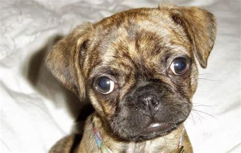 pug mastiff mix how big does a boston terrier pug mix get photo
