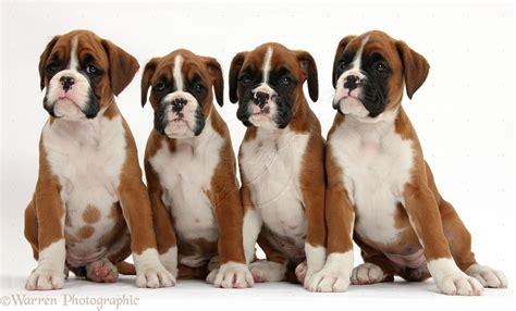 8 week boxer puppy week boxer puppies images