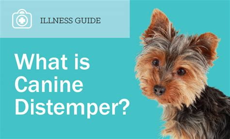 signs of distemper in dogs canine distemper treating and preventing distemper in dogs