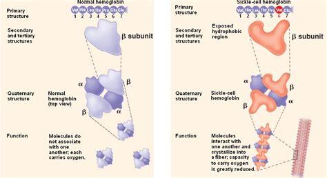 sickle cell diagram hemoglobin sickle hemoglobin s