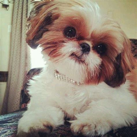 shih tzu breeders in louisiana 2746 best shih tuz images on shih tzus puppies and shih tzu puppy