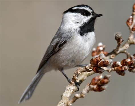 image gallery mountain chickadee