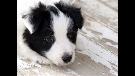 border collie puppies dogs  sale  nashville
