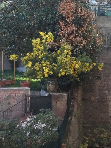 la mimosa fiorita clima impazzito ecco la mimosa fiorita a dicembre 1 di