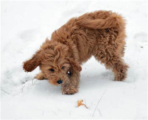 goldendoodle puppy vs an cube izze the goldendoodle puppies daily puppy