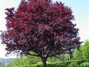 purple leaf plum ornamental with small edible fruit as well landscaping ideas pinterest