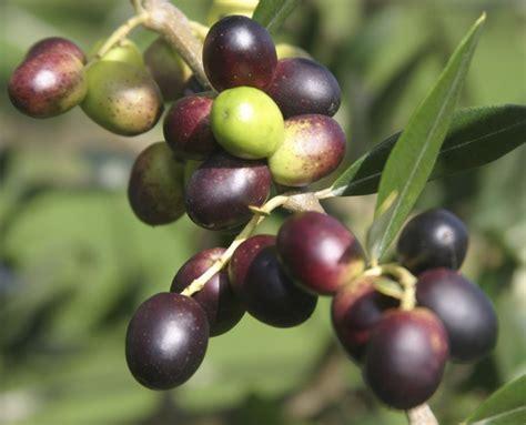 Minyak Zaitun Jayyid inilah zaitun pohon yang penuh berkah catatan seorang
