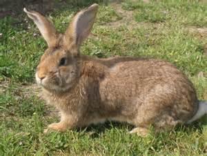 actualit 233 gt et le lapin de garenne devint jeannot lapin