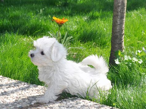 pomeranian malta maltese terrier elityavru
