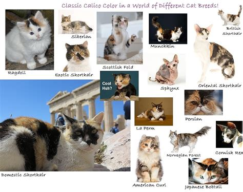 types of cats the calico cat cat breeds encyclopedia