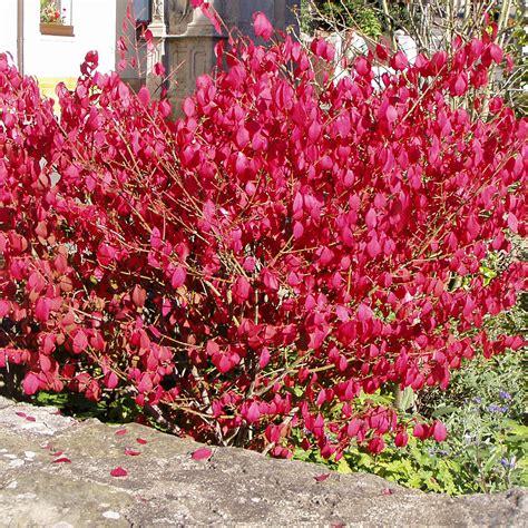 Pflanzen Für Steingärten 1025 by Zwerg Korkfl 252 Gelstrauch Euonymus Alatus Compactus