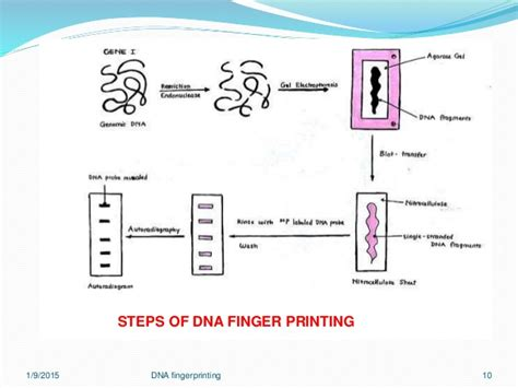 research paper on dna fingerprinting dna profiling essay