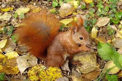 wo schlafen eichhörnchen eichh 246 rnchen winterschlaf bild 6 tiere im winterschlaf