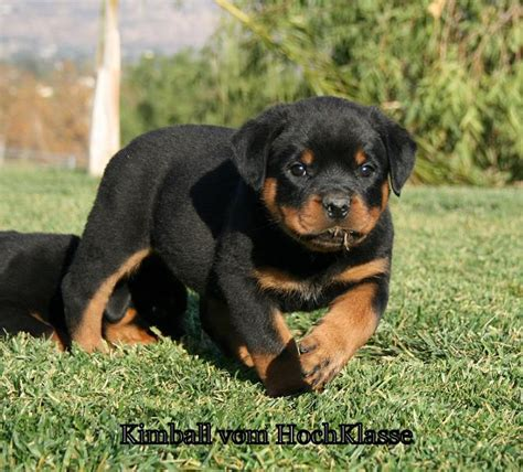 rottweiler breeders in california vom hochklasse rottweilers contact german rottweilers california usa