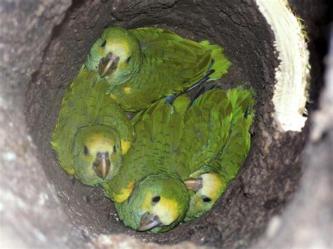 imagenes de loritos verdes fotos de loros verdes y sus nombres imagui