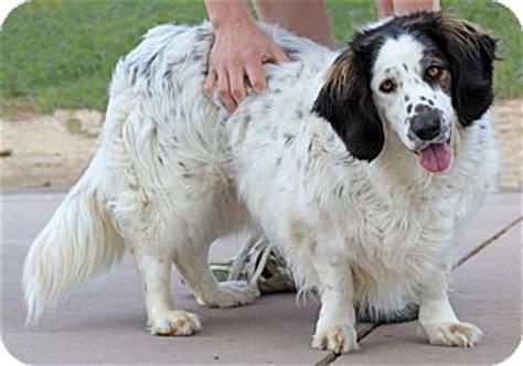 basset hound yorkie mix pet not found