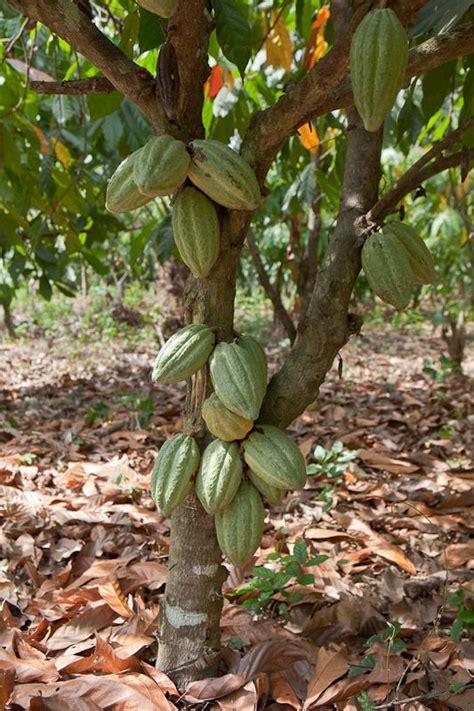 cocoa tree fruit green cocoa tree fruits on trees trees