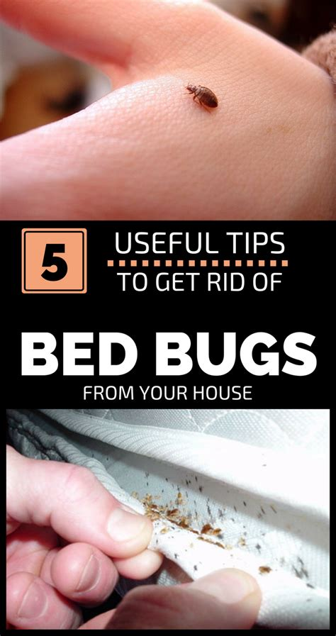 can t get rid of bed bugs 5 useful tips to get rid of bed bugs from your house