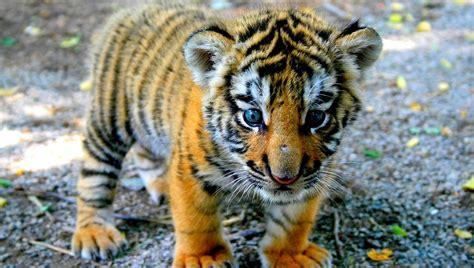 fotos animales tigres cachorro de tigres im 225 genes y fotos