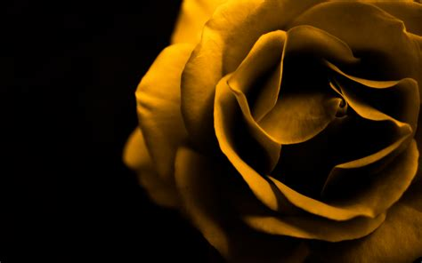 desktop wallpaper yellow roses yellow rose means quot i care quot colorful petals pinterest