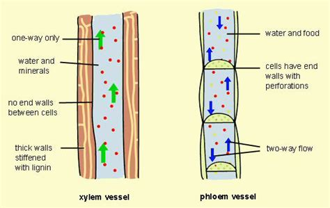 Xylem Papercraft - xylem and phloem diagram