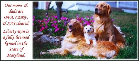 golden retriever breeder md golden retriever breeder jarrettsville md dogs in our photo