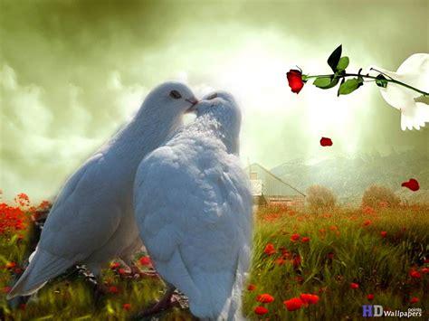 parrots kiss love wallpaper  hd wallpapers gallery