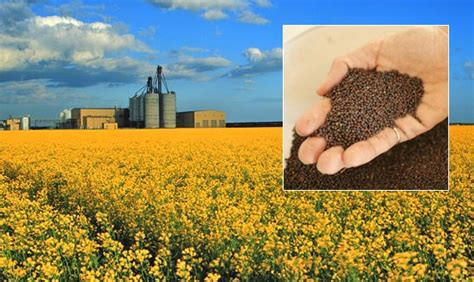 canola the real deal whole istic