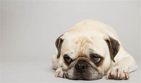 pug warts pered pets papillomavirus in dogs nature news express co uk