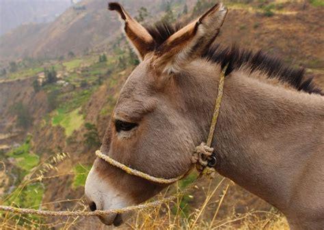 burro animal asno caracter 237 sticas h 225 bitat alimentaci 243 n razas