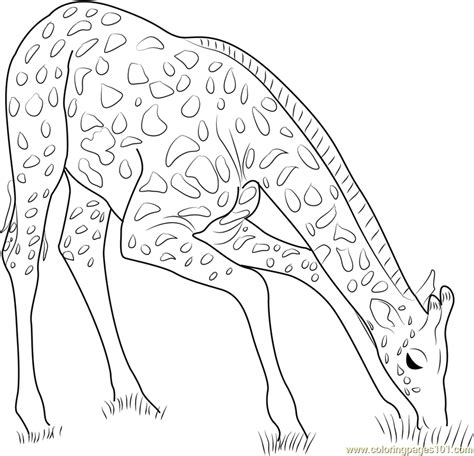 giraffe eating coloring pages giraffe eating coloring grass page pages grig3 org