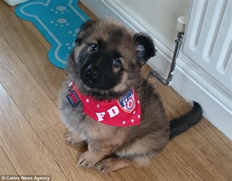 how much is a german shepherd puppy how much a german shepherd puppy cost dogs in our photo