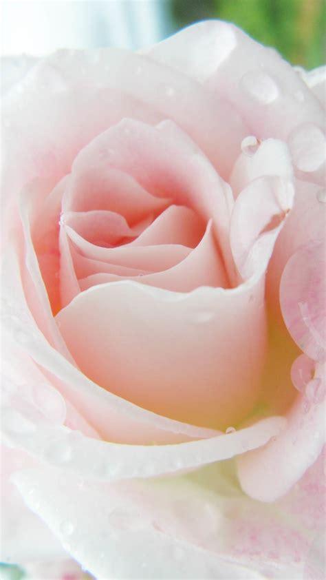 pink roses iphone 6 plus hd wallpaper iphone wallpapers iphone wallpaper pink roses hd wallpapers blog