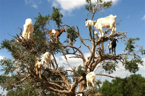 Goats In Trees Calendar Morocco Peggy Markel S Culinary Adventures Marrakech