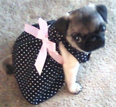 pug in dress yeah what i just said on that last pin about a dress up pug i want a tiny