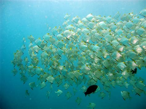 Fish Itu Ikan inilah schoolling fish kumpulannya para ikan mongabay co id