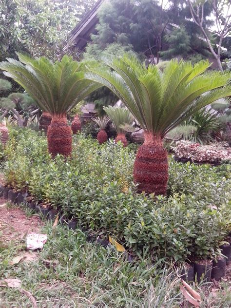macam macam tanaman hias habiban taman  landscape