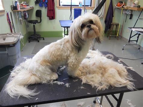 male shih tzu haircut male shih tzu puppies haircuts hairstylegalleries com