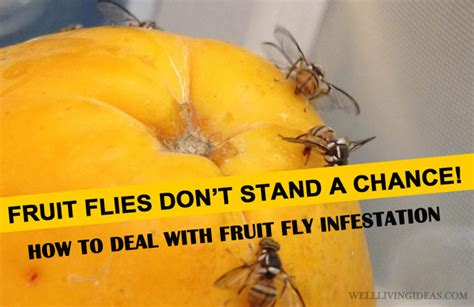 Fruit Fly Infestation 10 Best Home Solutions For Getting Rid Of Fruit Fly