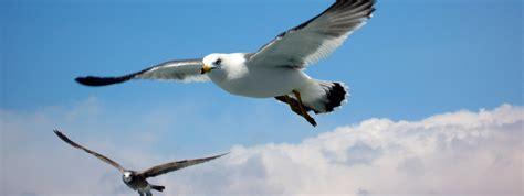 matsushima bay seagulls