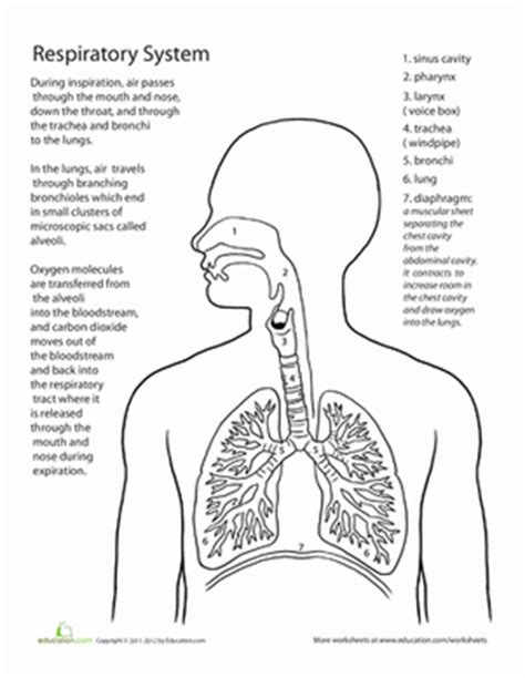 Inside Out Anatomy The Respiratory System Worksheet