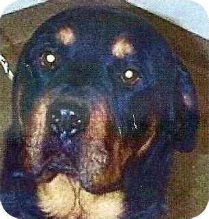 rottweiler rescue colorado springs max adopted colorado springs co rottweiler