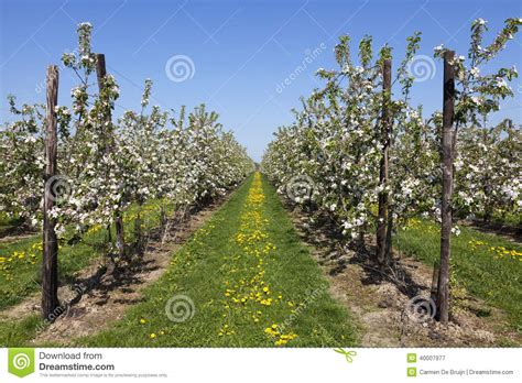 fields for growing fruit trees orchard with fruit trees in blossom stock photo image