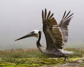 pelican l brown pelican the of animals