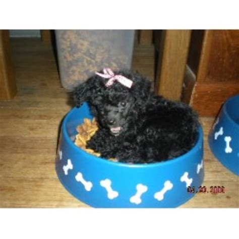 poodle rescue northwest indiana princess poodles poodle breeder in russiaville