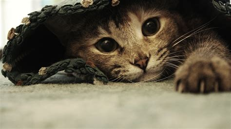 Cat Under Wallpaper   funny beautiful cat under the rug wallpapers and images