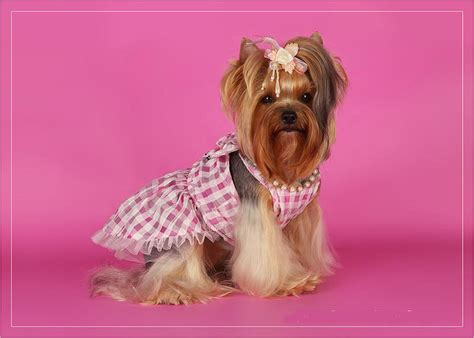 yorkie jackets yorkie clothing breeds picture