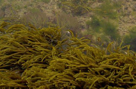 imagenes de algas pardas verdes y rojas proyecto biosfera