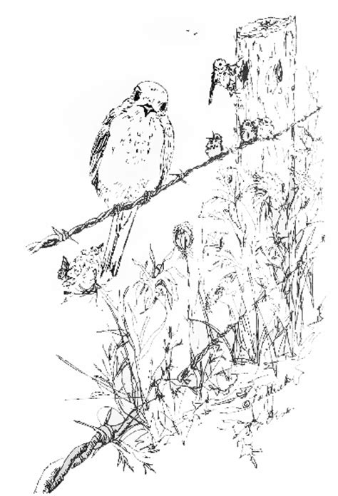 free coloring pages on bluebirds free coloring pages of bluebird