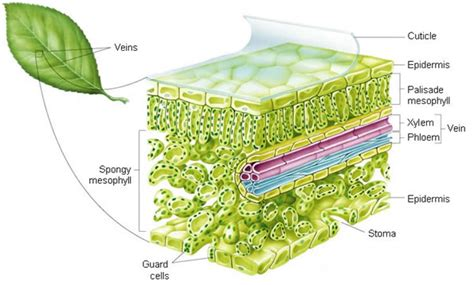 diagram of cross section of a leaf nutrition